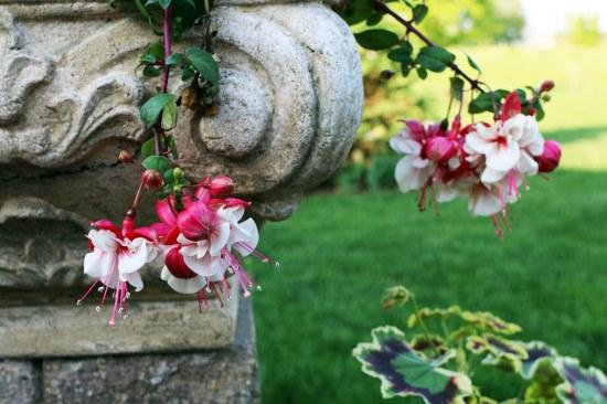 planter fushia