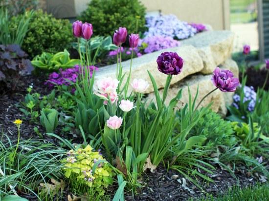 Tulips 5-21