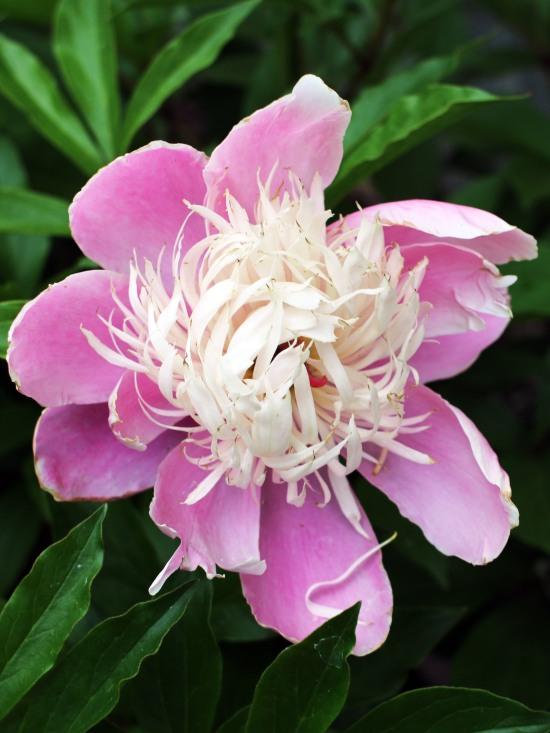 peony pink white June