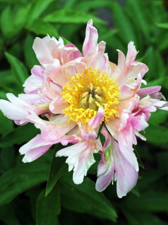 peony pink white yellow