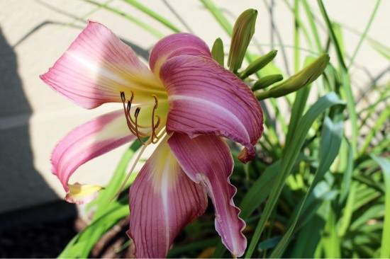 2014 July day lily pink