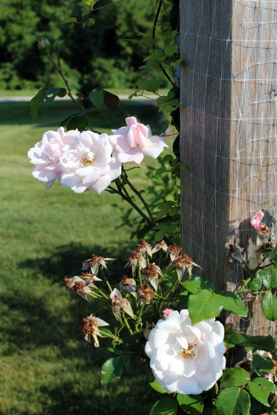 2014 July pale pink roses