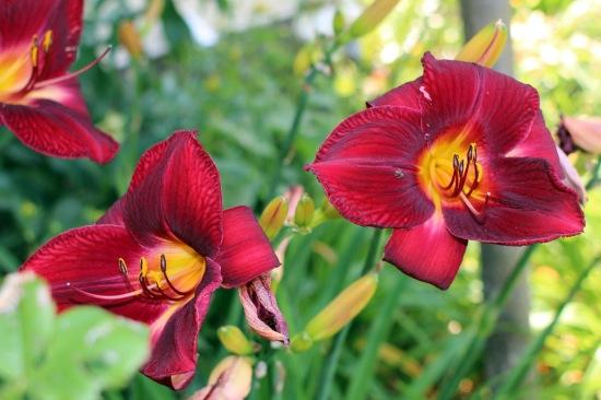 2014 July red daylily