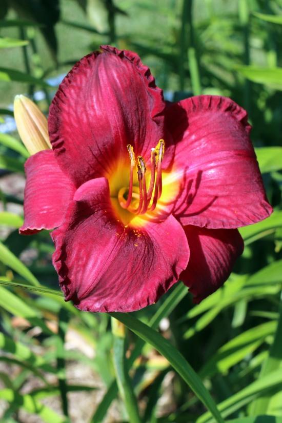 2014 July red ripple daylily
